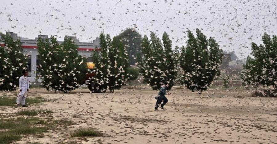 পঙ্গপাল ধেয়ে আসছে ভারত-ইসরায়েলের দিকে